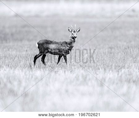 Old Black And White Photo Of Roebuck Looking Around While Standing In Field.