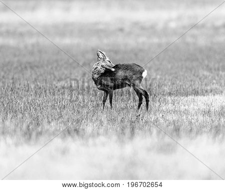 Old Black And White Photo Of Washing Roebuck Standing In A Field.