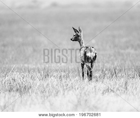 Old Black And White Photo Of Roe Deer Doe In A Field Looking Aside. Rear View.