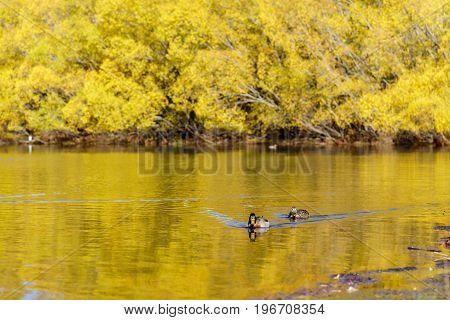 The Pacific black ducks or grey ducks at Lake Pearson (Moana Rua) in Autumn Arthur's pass National Park South Island of New Zealand