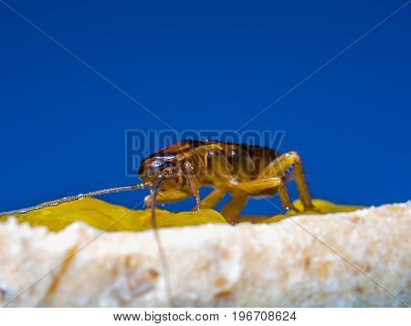 Close up Cockroaches are eating the yellow jam on bread the blue background words. The Cockroaches are carriers of the disease.