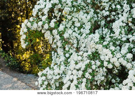a branch of the spirea emerges out its hedge and forms an arc /a branch of the spirea emerges out its hedge and forms an arc