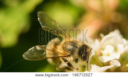 Closeup of bee at work on white clover flower collecting pollen A four leaves clover.