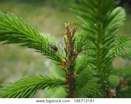 close up beetle on a young spruce tree twig