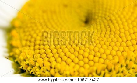 The center of a daisy flower is a matrix of yellow stamens. Macro photography as a distinct vegetative natural background on the theme of environmental protection. Center of the chamomile flower.