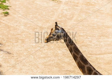 giraffe portrait in nature. Group of giraffes walks in summer nature