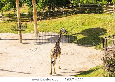 giraffes in the zoo safari park outdoors