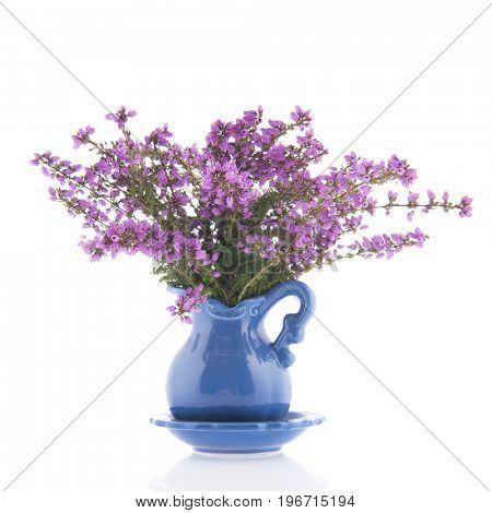 Purple heath flowers isolated over white background