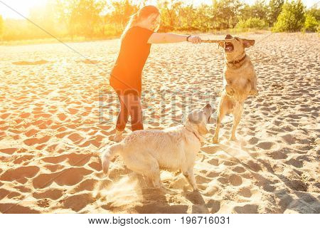 Two dog labrador head outdoors in nature performs a commands. Two dogs and a young woman on the beach. Sun flare