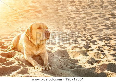 Old yellow dog Labrador Retriever is lying on the beach with full of sand close to river, hot and sunny summer. Dog on vacation. Sun flare