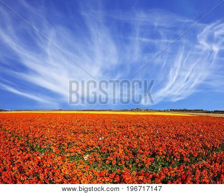 The magnificent blossoming fields of garden buttercups. Concept of rural tourism. Light cirrus clouds over the floral splendor