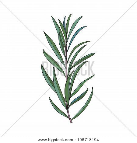 Beautiful hand drawn melaleuca twig, branch, floral decoration element, sketch vector illustration isolated on white background. Hand drawing of beautiful melaleuca twig, floral decoration element