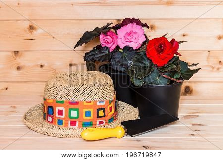 Young seedling begonia flowers and hat on wooden background