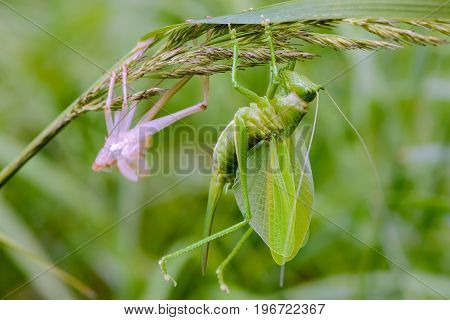 Female Grasshopper Sits On Grass Immediately After Molting