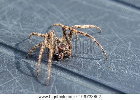 common house spider becoming active in outside environment