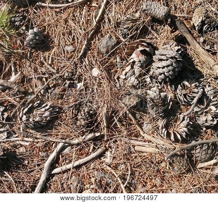 Pine cones on the ground in the coniferous forest