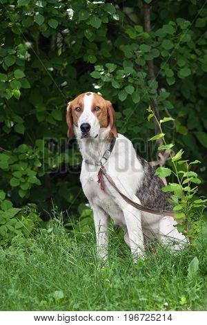 hunting dog Estonian hound on the leash