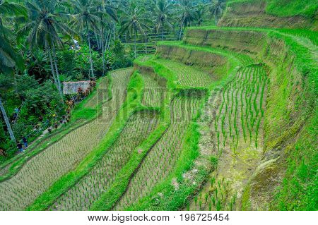 BALI, INDONESIA - APRIL 05, 2017: Unidentified people walking through the beautiful terraces with green rice, near Tegallalang village, Ubud, Bali, Indonesia.