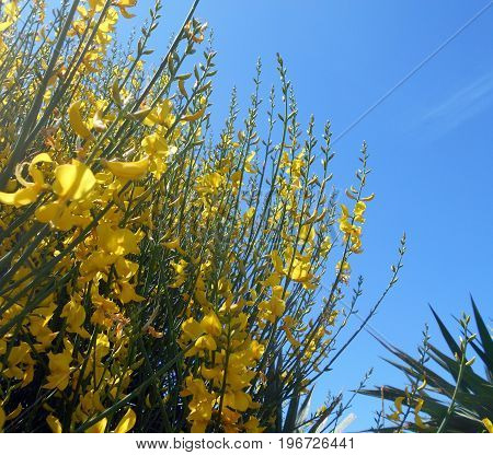 Blooming of Spanish broom bush (Spartium junceum), with leaves of Yucca tree in the back
