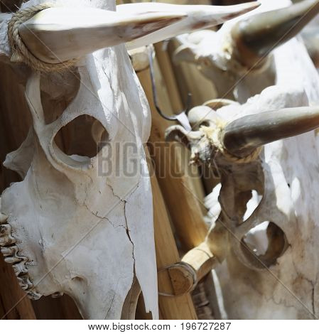 A Trio of Cow Skulls Hanging on a Wooden Rack Bleaching in the Sun