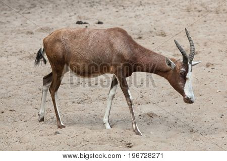 Blesbock (Damaliscus pygargus phillipsi). Wildlife animal.