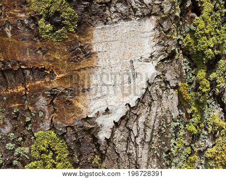 patterns and texture background image of poplar bark with lichen on an old tree trunk