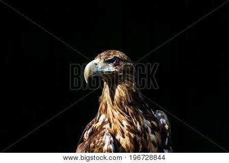 Noble Eagle, Photo On A Black Background