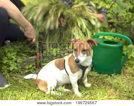 A small dog sitting in a garden while people working in the garden.