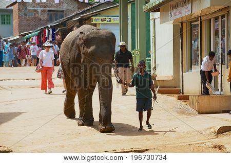 PINNAWALA, SRI LANKA - MAY 18, 2011: Unidentified man walks an adult elephant by the street. Pinnawala in Sri Lanka is famous for Elephant Orphanage.