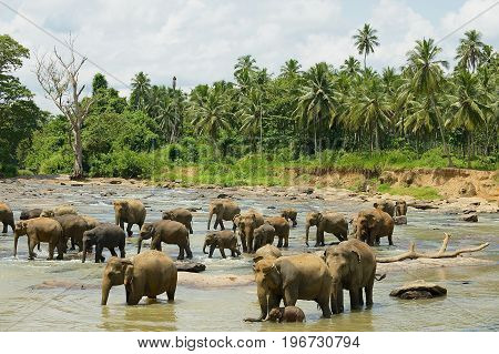 Elephants cross river in Pinnawala, Sri Lanka.
