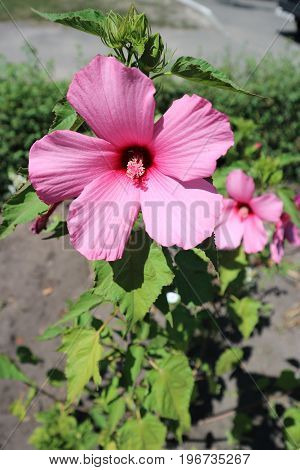 Hibiscus moscheutos (swamp rose mallow) big pink flower on a sunny day.