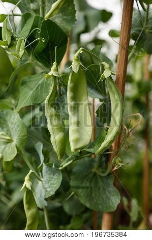 green snow pea plant farm concept. close up.