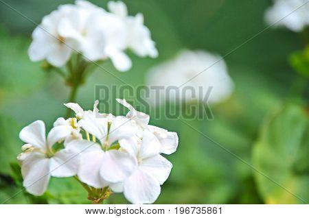 Bella flor blanca del jardín de mamá
