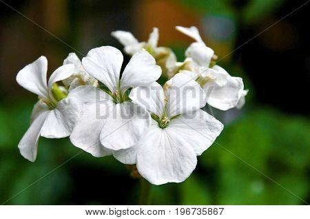 es una flor blanca de un jardín