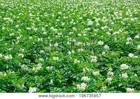 Texture of a potato field Russia summer blooming field