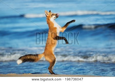 young playful fox on the beach in summer