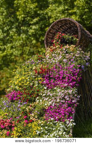 Ornamental spring flowers that are flowing out from a basket of twigs. Petunia hybrida.