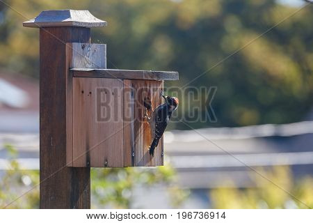 male downy woodpecker and homemade wooden birdhouse