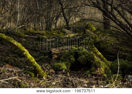 Old tree trunk covered with moss. Focus on foreground.