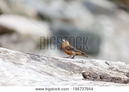 A red crossbill perches on a log. Vancouver Canada.