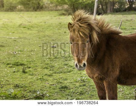 A Shetland pony looking at the camera