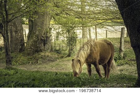 A Shetland pony eating grass in the farm