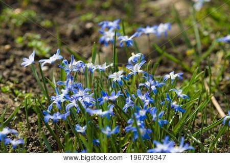 The first spring flowers. Flowering Scilla luciliae.