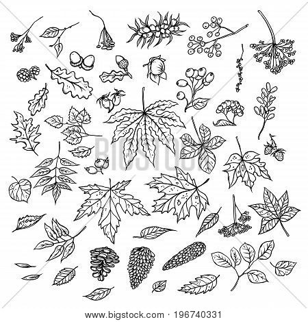 Vector outline illustration of sketch of branches with autumn leaves, cones, dried flowers and ripe berries. Set of black and white isolated herbal graphics. Kit of elements in imitation of etching