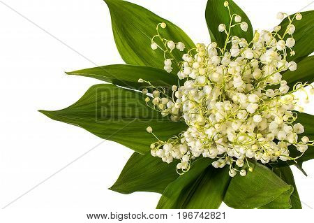 Bunch of Lilly of valley flowers isolated on white background