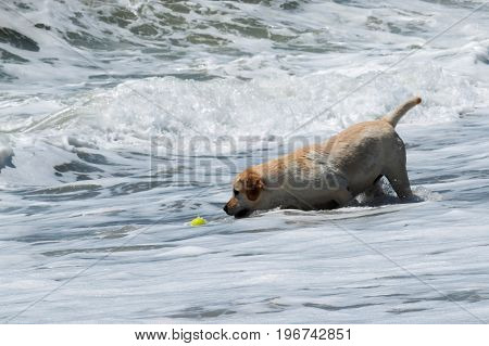 A dog is retrieving a yellow tennis ball from the ocean as he plays fetch with his owners poster