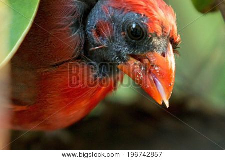 A close up of the face of a male cardinal bird with something in its mouth