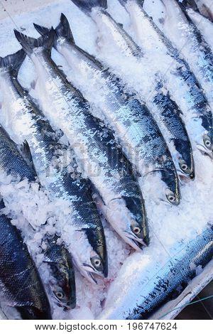 Wild sockeye salmon for sale in ice