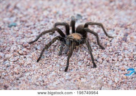 Tarantula spider at sedona Arizona close up.