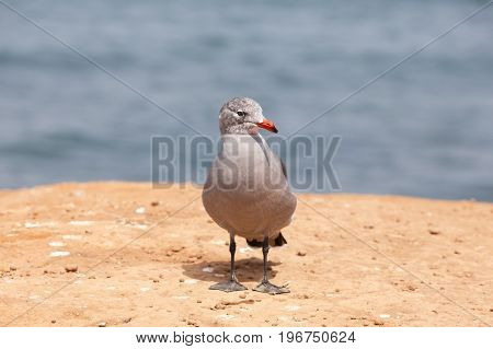 Heermann's Gull (Larus heermanni) adult in winter plumage